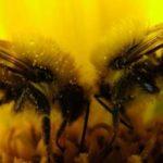 Пчелы-зомби захватили США