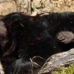 Турфирмы открыли сезон незаконной охоты на гималайского медведя