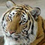 Тигрица Путина выгнала из Приморского заповедника стаю волков